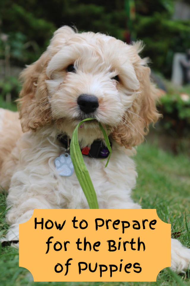 Before your dog has their puppies it's important that you are ready and that you know how to prepare for the birth of puppies.